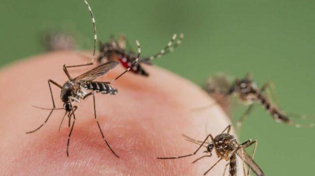mosquito tigre lleno de sangre
