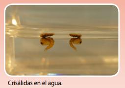 Ciclo de vida del mosquito